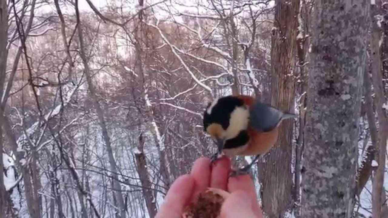 手に乗る かわいい野鳥たち(北海道札幌) シジュウカラ ヤマガラ他 - YouTube