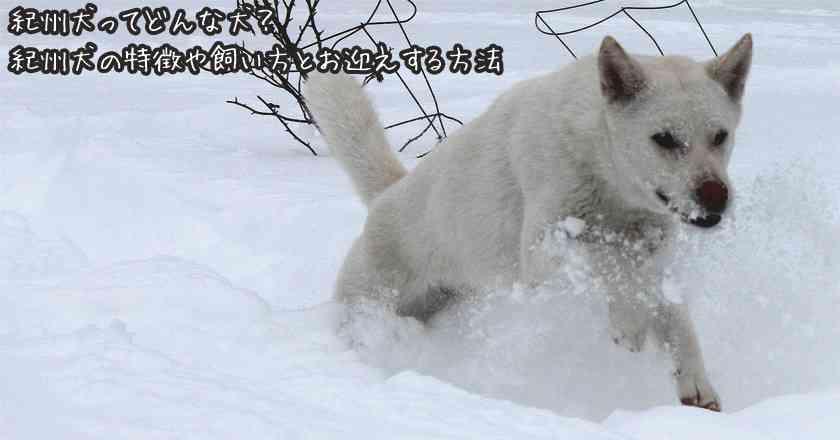 紀州犬ってどんな犬?紀州犬の特徴や飼い方とお迎えする方法