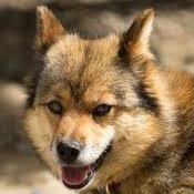 狼の血を継ぐ!? 長野のローカル犬『川上犬』が凛々しい上に可愛い - NAVER まとめ
