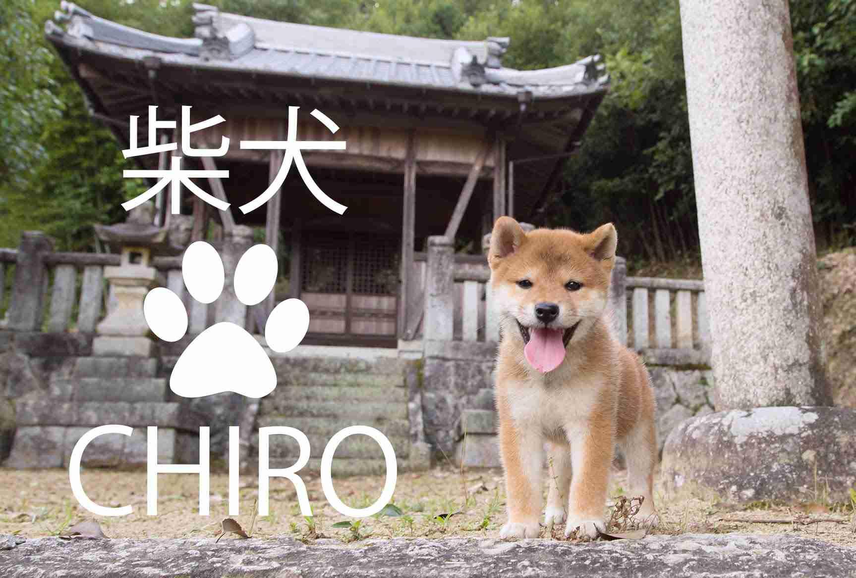 柴犬 子犬 ちろ  Shiba inu puppy  CHIRO - YouTube