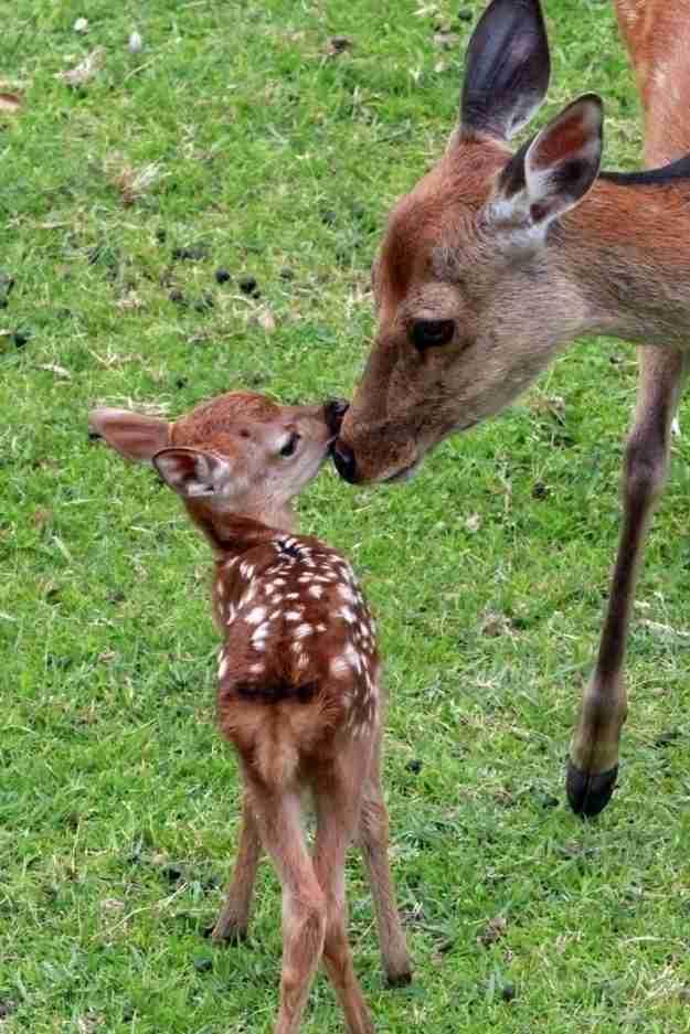 奈良公園の「鹿苑」でバンビ第1号誕生