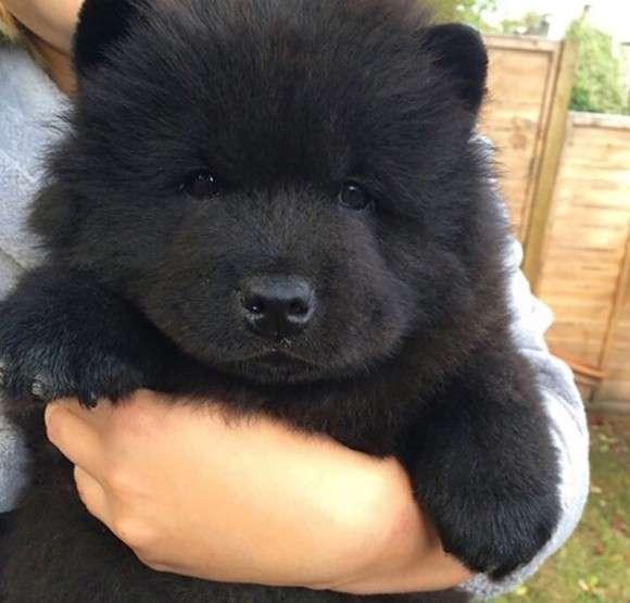 どう見てもクマかクマのぬいぐるみにしか見えない犬達がかわいい