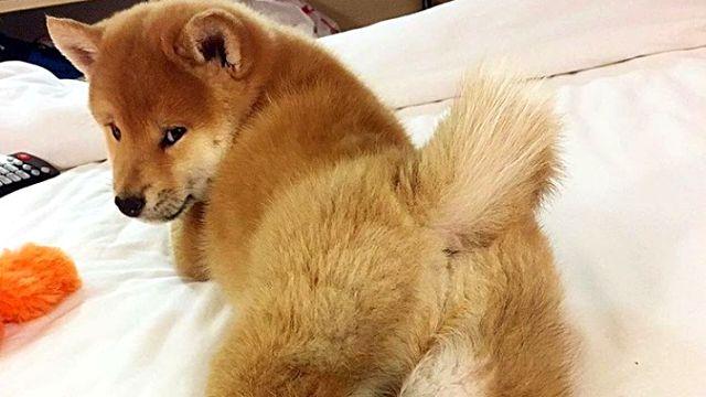 だって柴だもん!可愛いんだから仕方ない。柴犬たちをたっぷり堪能する写真集 : カラパイア
