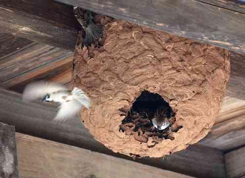 朝日新聞デジタル:スズメバチの巣、スズメが再利用 宮城・南三陸 - ニュース特集