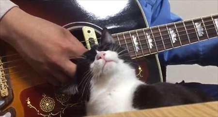 これは逆らえない ギターをひく人の手元でナデナデをおねだりするかわいすぎるネコちゃん