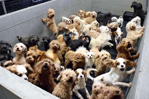 犬猫50匹、8平方mで飼育…狂犬病注射もせず : 社会 : 読売新聞(YOMIURI ONLINE)