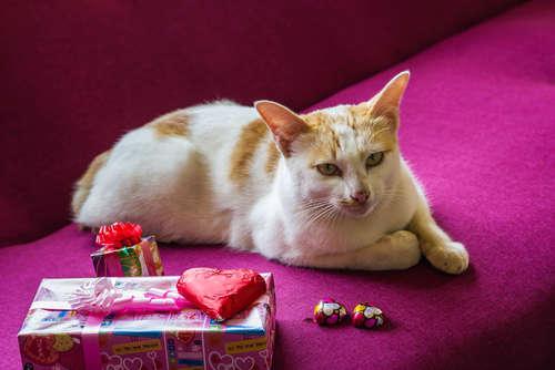 猫にチョコレートは食べさせてはいけません!  チョコの有毒性について | PECO(ペコ)