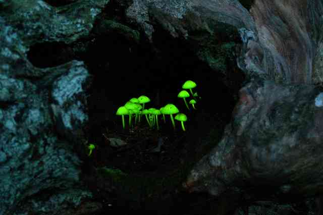 光るキノコ、六甲山に現れる 梅雨の闇夜に淡い光