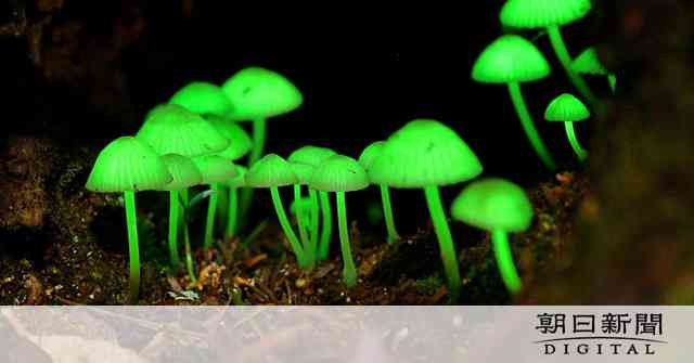 光るキノコ、六甲山に現れる 梅雨の闇夜に淡い光:朝日新聞デジタル