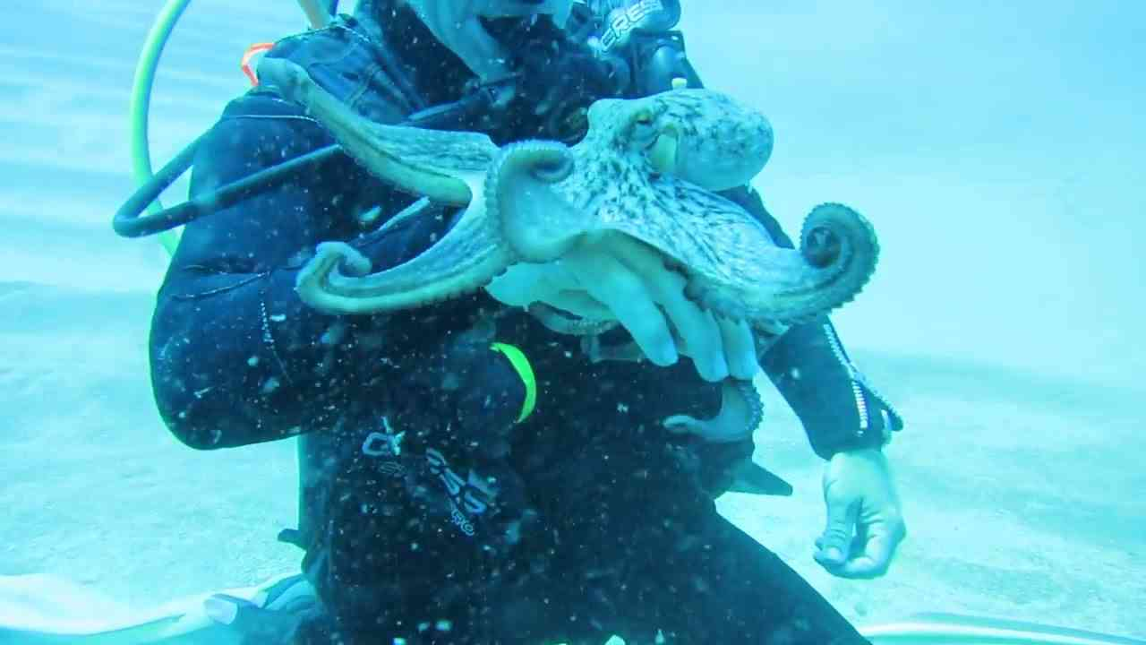 Scuba Diver Plays With Octopus - 985119 - YouTube