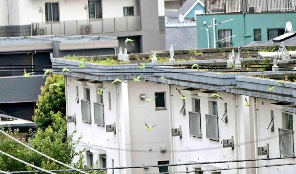 東京・神奈川でインコが大量発生…野生化したペットか?