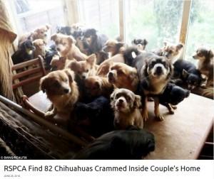 亡くなった女性の家から82匹のチワワが発見される(英)