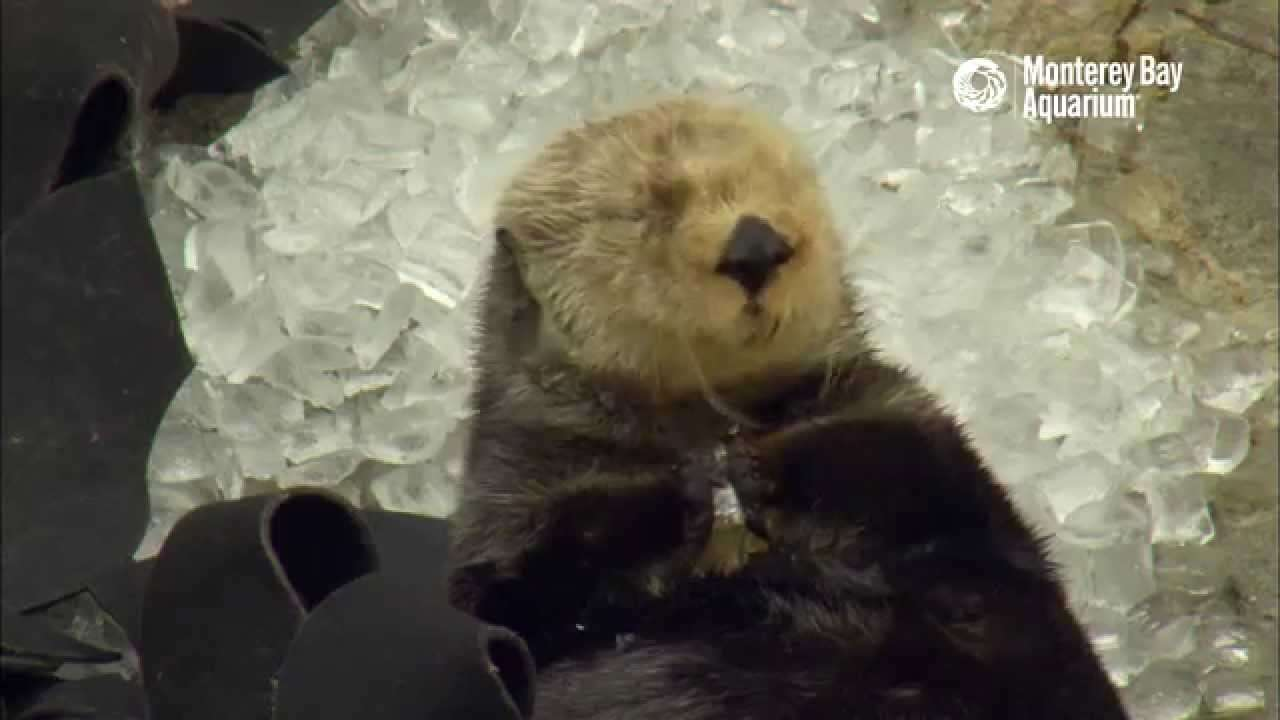 Otter in Ice Cubes: A Monterey Bay Snow Day! - YouTube