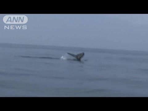 """東京湾でクジラ""""目撃"""" 海上保安庁が注意呼びかけ(18/06/25) - YouTube"""