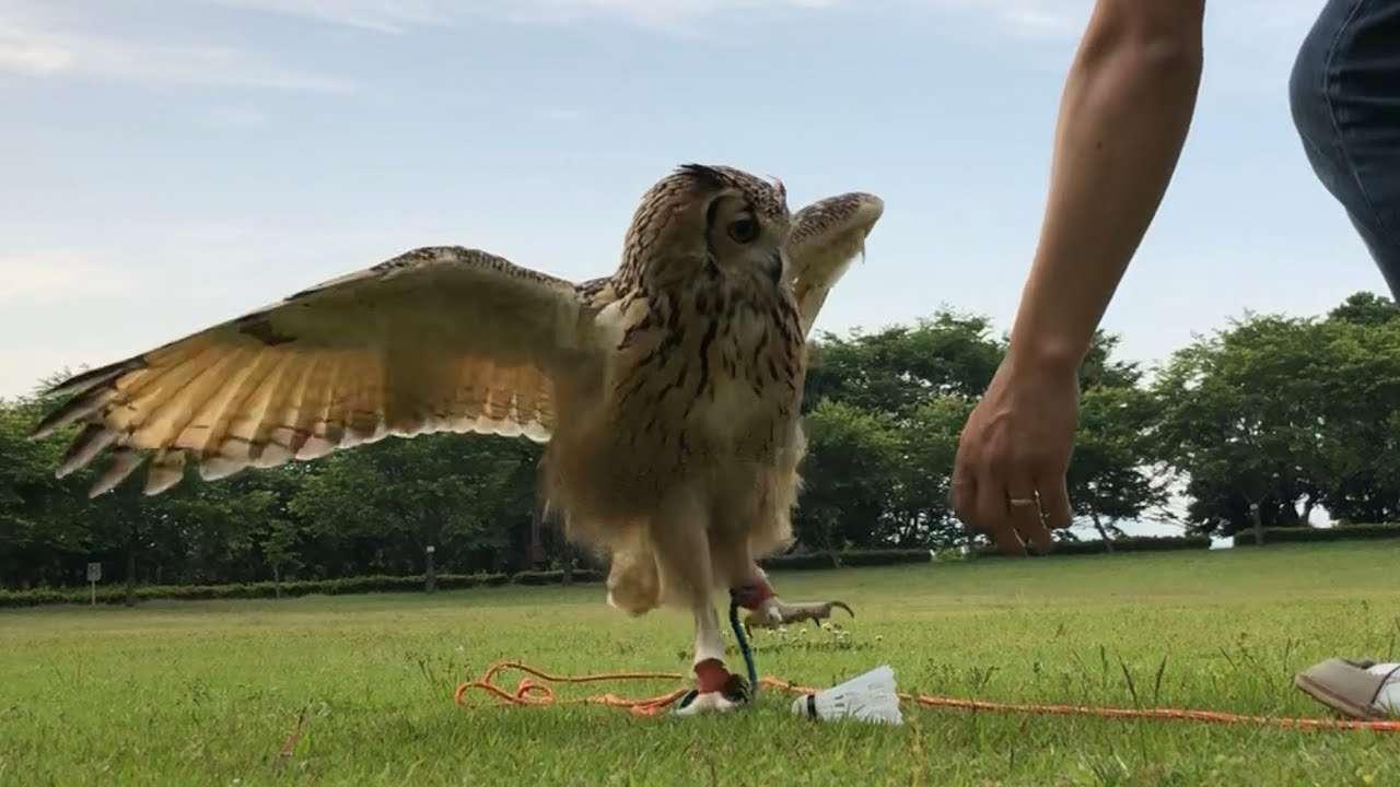 【フクロウのガルー】公園で遊ぼう! / Let's play with owls! - YouTube