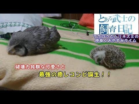 超癒し!!フクロウとハリネズミの仲良くおやすみタイム~Owl and hedgehog sleep together and go to bed~ - YouTube