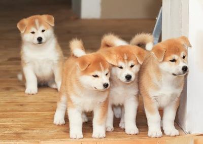ニセ秋田犬が増殖中 中国の土着の犬と交配させ血統書を偽造 - ライブドアニュース