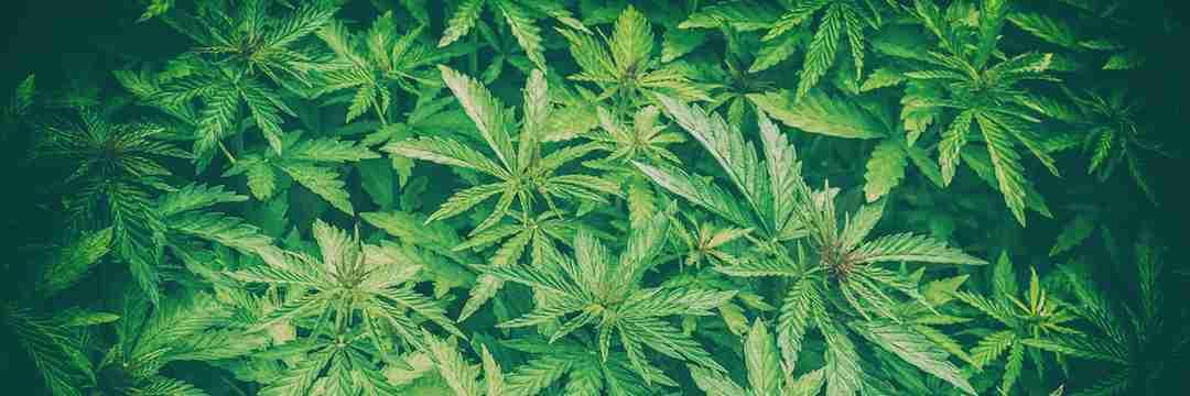 そもそも「大麻」とは何か?日本がいま考えるべき「マジメな使い方」(原田 隆之)   現代ビジネス   講談社(3/5)