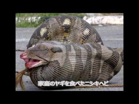 【閲覧注意】8メートル超のヘビが54歳女性を丸飲みに(インドネシア)