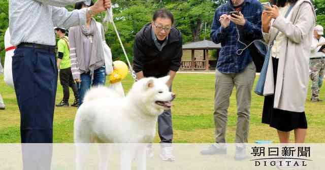 ザギトワ効果で秋田犬人気沸騰 飼育放棄後絶たぬ現実も:朝日新聞デジタル