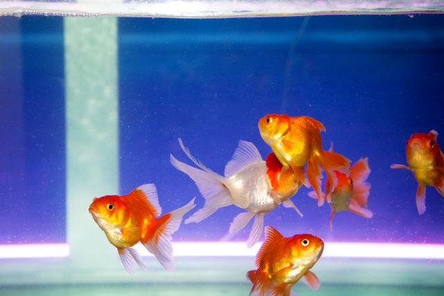 金魚はトイレに流しちゃダメ! | ニコニコニュース