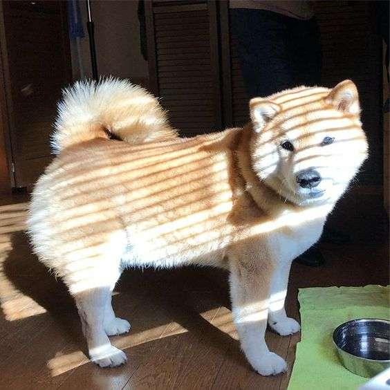 シマシマを集めるトピ