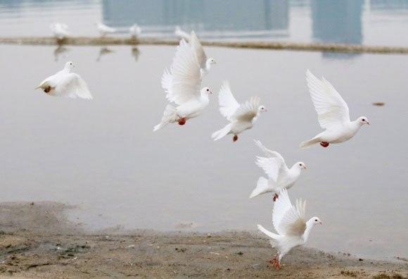 【中国】新婚カップルが結婚写真で白いハト100羽を放つ → 「食べ物だ!」と住民殺到 →ハトほぼ全滅 | ロケットニュース24