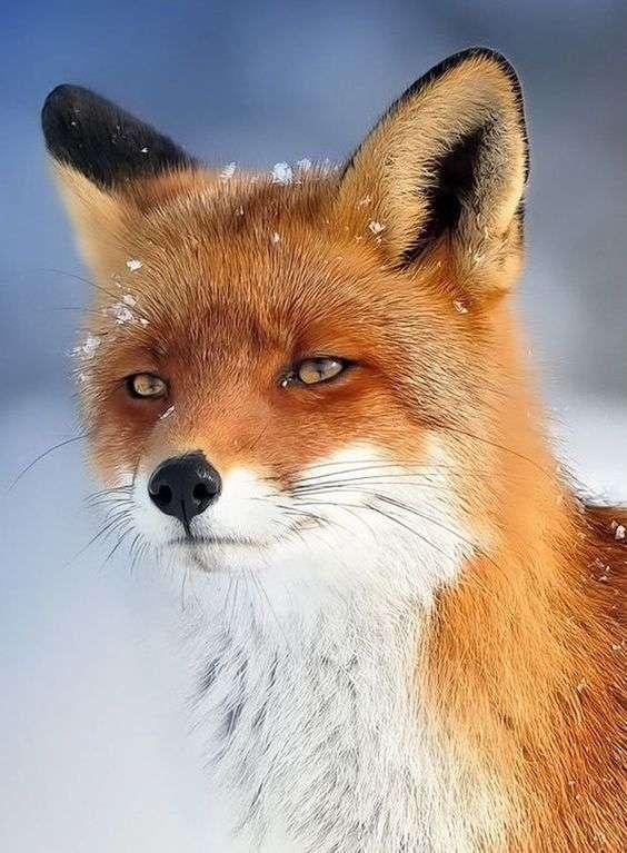 キツネ・きつね・狐の画像