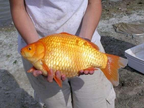 金魚をトイレに流して「自然に帰してあげる」SNSに動画投稿し非難殺到