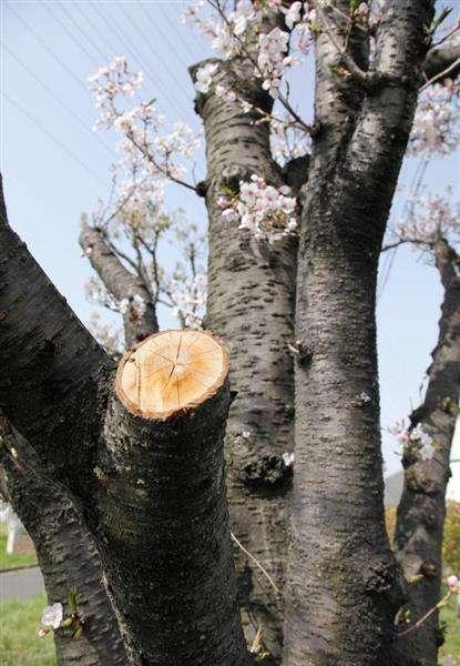 桜切断、実は市の委託業者だった 大阪・東大阪の公園、3月に - 産経WEST