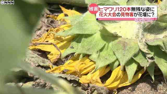 ヒマワリ120本踏み倒され…花火大会の見物客か?
