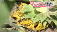 ヒマワリ踏み倒され…花火大会の見物客か? | NNNニュース