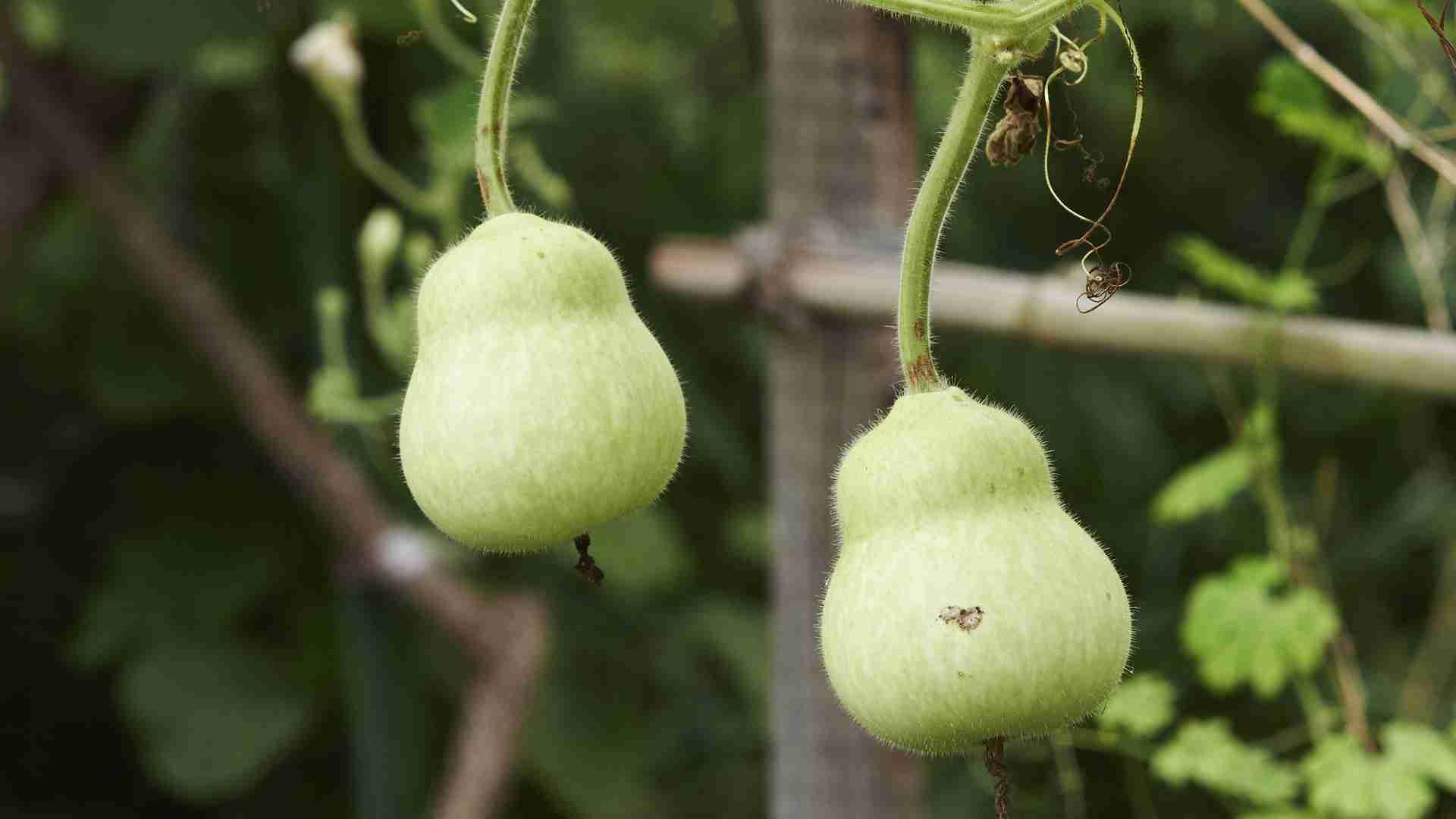 ズッキーニやヘチマなど「ウリ科野菜」中毒の危険性(石田雅彦) - 個人 - Yahoo!ニュース