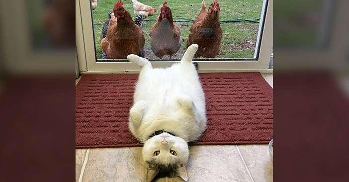 同居するニワトリ達に、様々なポーズを見せるのが日課の猫さん。どうやらニワトリ達も興味津々のようで ( *´艸`) | エウレカ!eureka! - もふもふ犬猫動画