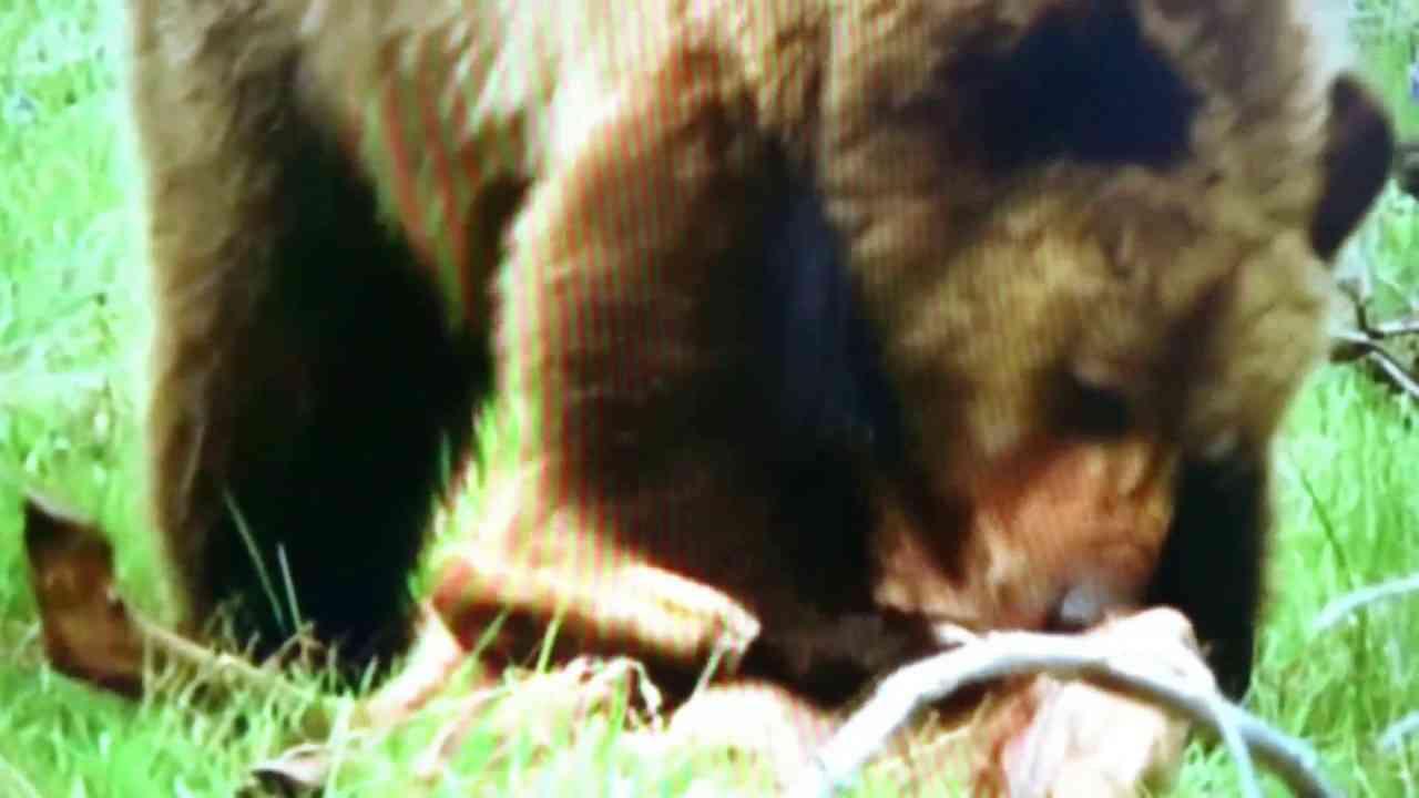 ヒグマが可愛い小鹿を猛ダッシュで襲い食べてしまう捕食映像 - YouTube