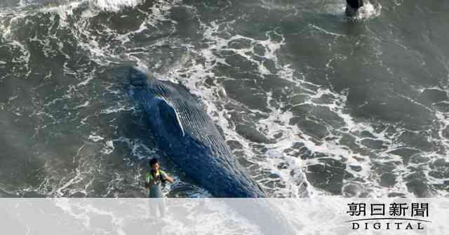 鎌倉の海岸にクジラ打ち上げ 海水浴客の近くで:朝日新聞デジタル