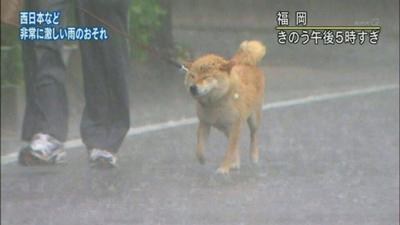 ちくしょう、ジジイがボケて大雨にきづかねぇ!しかも今日5回目の散歩だぞ、ちくしょう! - 犬へのボケ[21196813] - ボケて(bokete)