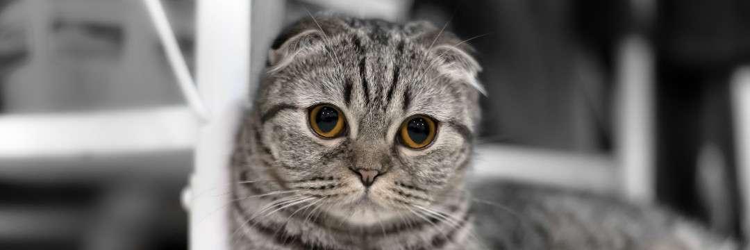 なぜ炎上?HIKAKINが飼い始めた人気猫種の、知られざる悲しみ(友森 玲子) | 現代ビジネス | 講談社(1/3)