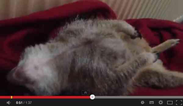 ウトウト…ハッ 眠そうなミーアキャットの人間っぽさに共感