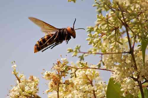 【虫画像注意】日本の男性、世にも恐ろしいスズメバチを飼いならしペットに…