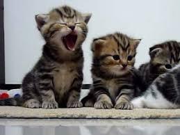 あくびしてる猫の画像をください!