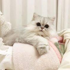 長毛猫の画像が集まるトピ