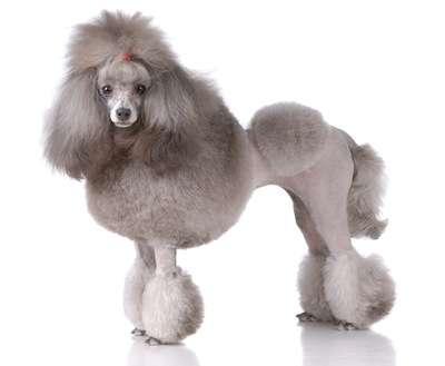 日本発! まんまるにトリミングされた犬が海外で話題に
