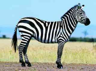 白×黒の動物の写真トピ