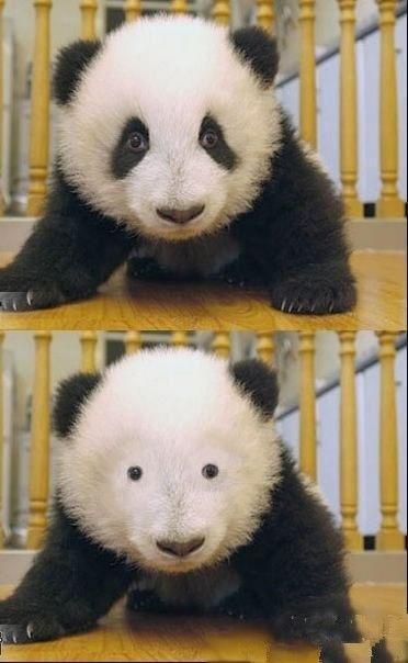 パンダって、目の周りの黒いやつ消したら全く可愛くないんだけど