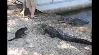 Cat Saves Boy: Two Vicious GATORS attacked by pet CAT - YouTube