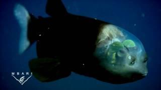 深海魚デメニギス (Macropinna microstoma) - YouTube