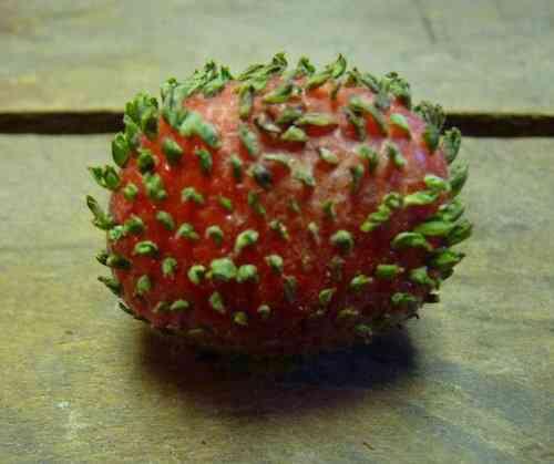 【閲覧注意】イチゴのつぶつぶが発芽すると…どうなるか知ってた?