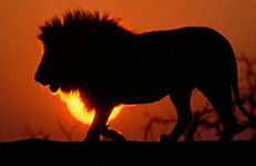 性行為中、ライオンに襲われ女性死亡!! 男性全裸で逃げ出す…ジンバブエ