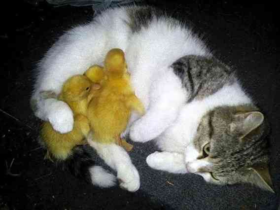 これぜーんぶあたしの子!子猫と子アヒル3匹を抱きかかえる母猫のいる風景